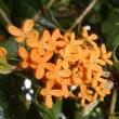 秋の匂い「金木犀」