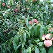 桃がなりすぎてジャム作り