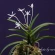 フウラン 山採り 六弁花