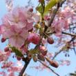 3/11_静豊園の河津桜