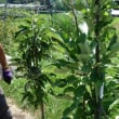 田んぼの畑化(果樹園へ転換中)満を持してリンゴ苗を植える(その1)