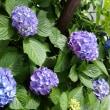 もう紫陽花!