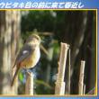 冬に見かける鳥 「ジョウビタキ目の前に来て春近し