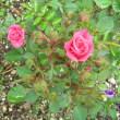 ミニバラ&薔薇