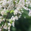 五月雨に濡れる白い花
