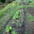 玉ねぎ苗植えました
