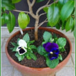 冬花の植え付け③