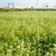 蕎麦の花と四季島。