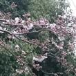近くの公園のサクラの花のほころび