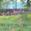 「曼珠沙華(まんじゅしゃげ)の里」へ彼岸花を見に行ったのだが、遅かった。