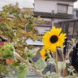 ヒメヒマワリ 咲き始める