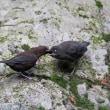 日曜日(3/11)の鳥見 3 ・カワガラス雛 @ 渓流