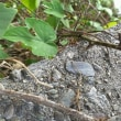 カナヘビの赤ちゃん