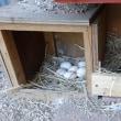 11月に孵った雌ウコが抱卵をはじめました!(^^)!