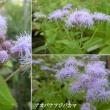 青花フジバカマの花は