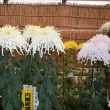 四季折々833  高幡不動の菊まつり