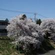 阿見坂上の桜古木ほぼ満開