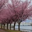 蜂須賀桜並木の下を