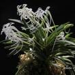 フウラン「山採り付け無し」の花