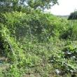 ミニトマト・ゴーヤ・ササゲ収穫