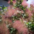 スモークツリーが咲きました