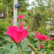 元気色のバラが咲く。