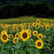 ヒマワリの咲く丘 喜多方市「三の倉高原」  2017年8月末