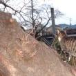 のんちゃんの気ままなポーズ 66-③ のんちゃん桜の木に登る