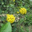 1月の花、つわぶきは癒し系