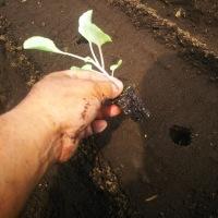 ブロッコリー、キャベツ 定植
