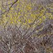 すっかり春めいた 鍋割峠を 超えて 佐渡窪へ ~ 「マンサク」お花見登山(1)