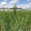デュラム小麦(種子圃場)の異形抜き