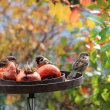 鳥寄せ (餌付け)