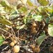 冷たい雨の中、キウイフルーツを収穫しました。