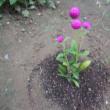 我が家の お花様達 764