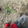 大きくなったのでトマトを定植した