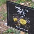 コショウの木と福寿草 牧野植物公園
