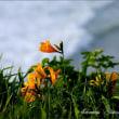 ☆旬撮 種差海岸 大須賀 ~ 渚に咲く花々・ ニッコウキスゲ ~ 2018年06月11日