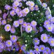 巨大サフィニア完売しました!キュウリ、周年咲く紫のブラキカム、ジニア💞明日土曜日は高津区二子3-28-33での販売です!