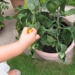 約束のトマト狩り