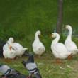 桃が池の鵞鳥