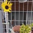寒さに負けず、向日葵咲いています