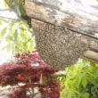 自宅のニホンミツバチが分封しました