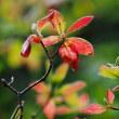 静か~~昨日の台風が嘘みたい・・モチツツジの紅葉と花