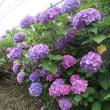 美し過ぎる紫陽花!