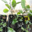小玉スイカとショウガの植え付け