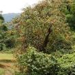 古い柿の木