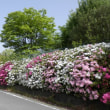 小さな公園の「つつじ」と「なんじゃもんじゃの花」