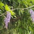 6月29日ねむの花も満開、久慈川の日中水温28,1℃ 水位渇水 水深のある瀬の釣りがポイント