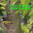 クイズの正解&ケヤキ爺とシジュウカラのコラボ